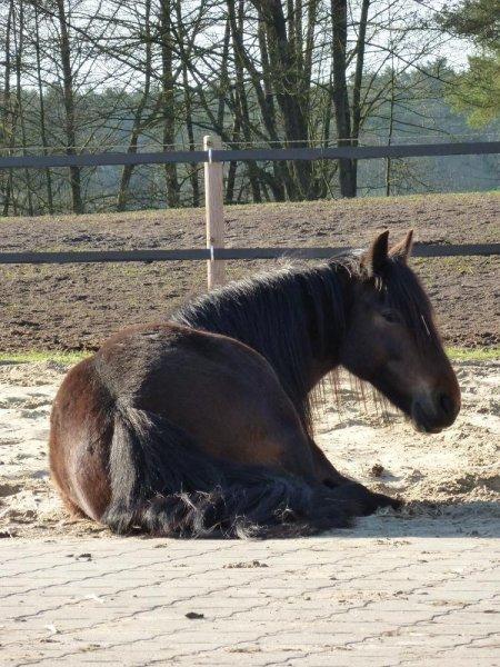 Ruhepause Fell Pony