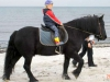 Fell Pony an der Ostsee
