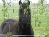 Fell-Pony-Wallach, 3 Jahre