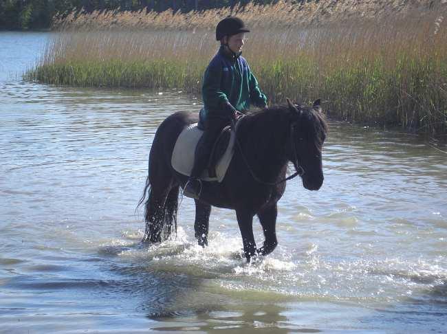 Fell Pony im See