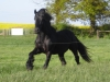 Fell Pony Hengst