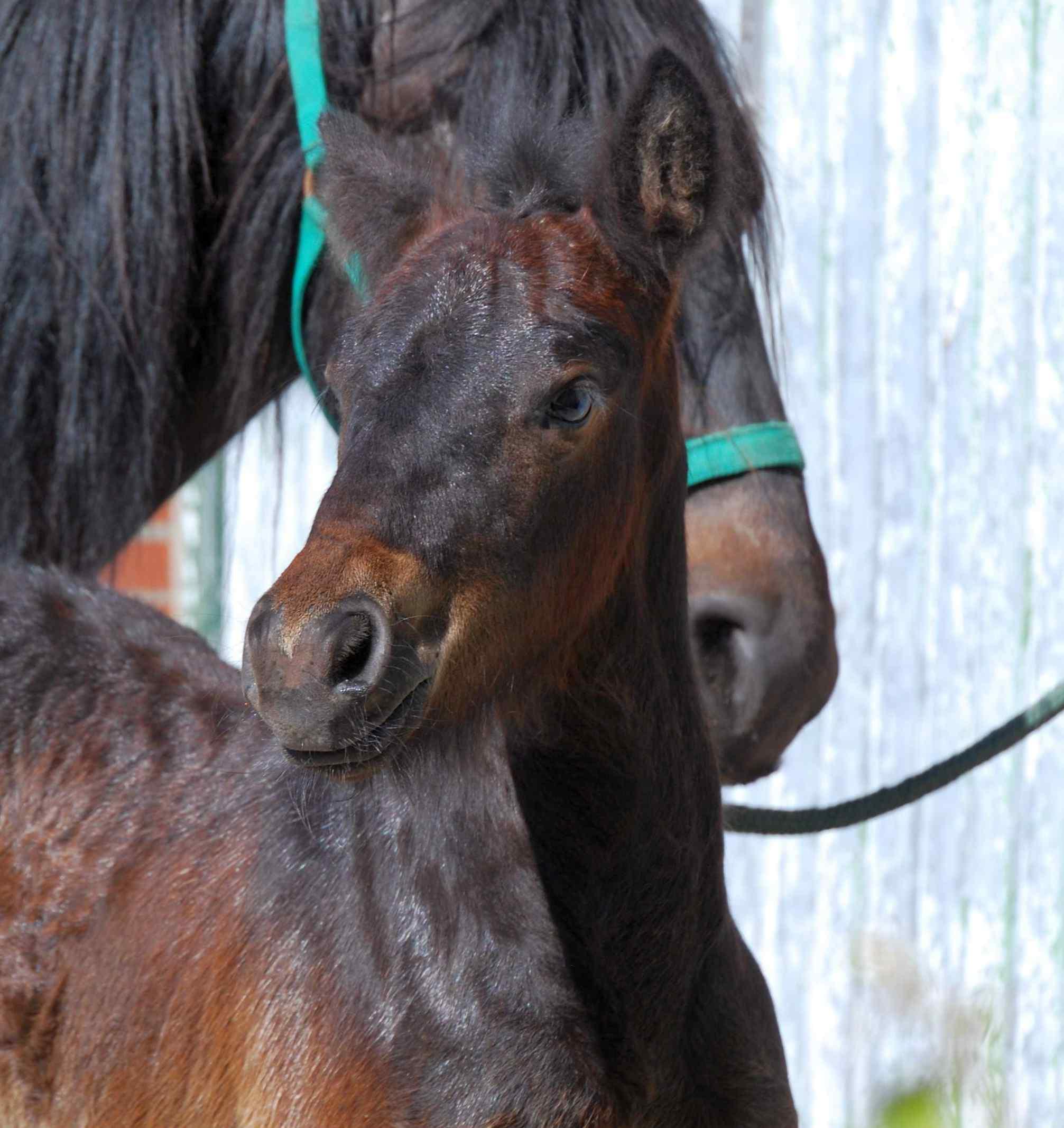 Fell Pony Fohlen schwarzbraun