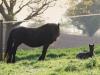 Fohlenkoppel Fell Pony