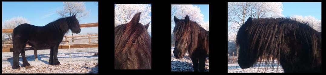 Rimmersgard Fell Pony Gestüt